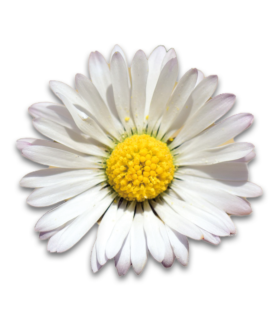 Gänseblümchen Gartenlaube